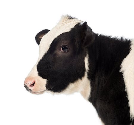 Close-up of a Veal Stock Photo - Premium Royalty-Free, Code: 6106-07120472