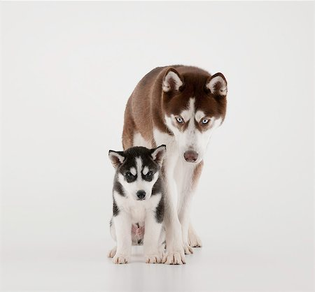 Family of Huskies Stock Photo - Premium Royalty-Free, Code: 6106-07120716