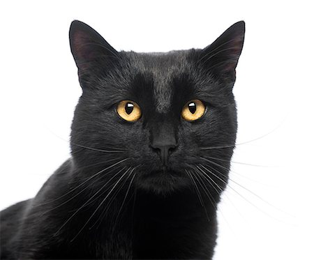 domestic - Close-up of a Black Cat Stock Photo - Premium Royalty-Free, Code: 6106-07349781