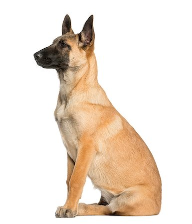 sit - Belgian Shepeherd Stock Photo - Premium Royalty-Free, Code: 6106-07349814