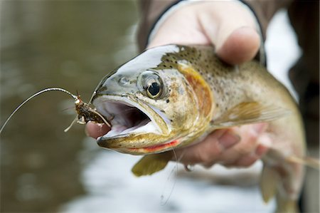 Closeup of fishermans hand holding trout in river. Stock Photo - Premium Royalty-Free, Code: 6106-07350969