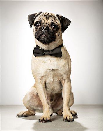 pvg - Cute pug Stock Photo - Premium Royalty-Free, Code: 6106-07454796