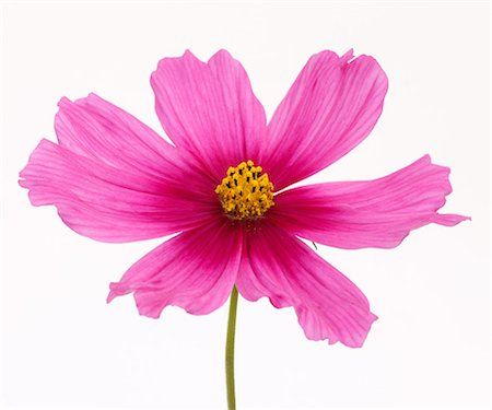 stamen - Stunning bright pink cosmos flower in close-up. Stock Photo - Premium Royalty-Free, Code: 6106-07454809