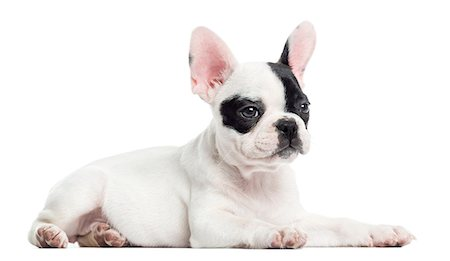 French bulldog lying, isolated on white Stock Photo - Premium Royalty-Free, Code: 6106-07455174
