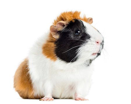 Guinea Pig looking away, isolated on white Stock Photo - Premium Royalty-Free, Code: 6106-07455183