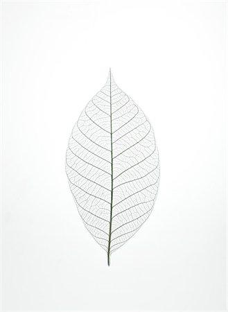 Leaf Skeleton Stock Photo - Premium Royalty-Free, Code: 6106-07455541