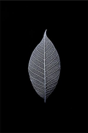 Leaf Skeleton Stock Photo - Premium Royalty-Free, Code: 6106-07455549
