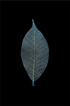 Leaf Skeleton Stock Photo - Premium Royalty-Free, Code: 6106-07455550