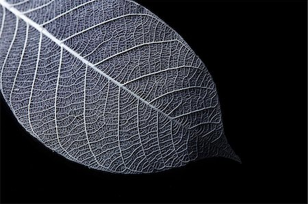 Leaf Skeleton Stock Photo - Premium Royalty-Free, Code: 6106-07455533