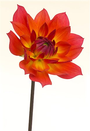 flowers - Flame-like dahlia, Dahlia 'Firepot' Stock Photo - Premium Royalty-Free, Code: 6106-07455673