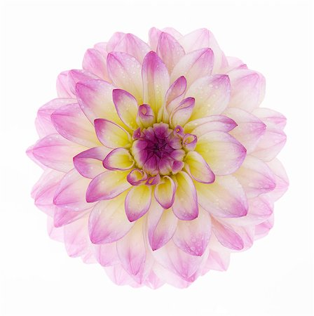 stamen - High key close-up of dahlia 'El Paso', in square. Stock Photo - Premium Royalty-Free, Code: 6106-07493686