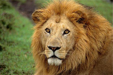 Lion Stock Photo - Premium Royalty-Free, Code: 6106-07493743