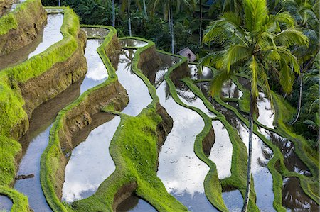 palm - Rice terraces in central Bali Indonesia Stock Photo - Premium Royalty-Free, Code: 6106-07593649