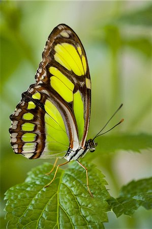 Bamboo Page Butterfly (Philaethria dido) Stock Photo - Premium Royalty-Free, Code: 6106-07593887
