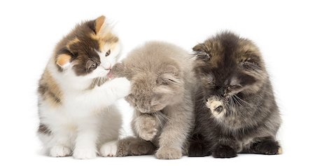 Kittens sitting, having a wash Stock Photo - Premium Royalty-Free, Code: 6106-07594613