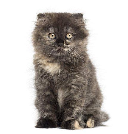Highland fold kitten looking at the camera Stock Photo - Premium Royalty-Free, Code: 6106-07594610