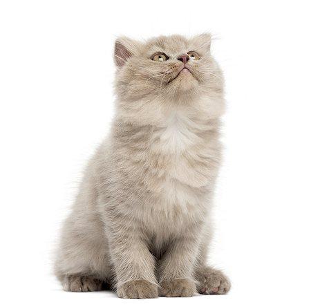 Highland fold kitten sitting, looking up Stock Photo - Premium Royalty-Free, Code: 6106-07594614