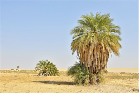 egypt - Date Palms Stock Photo - Premium Royalty-Free, Code: 6106-07594861