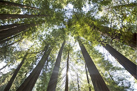 forest - View up through giant redwood trees in Muir Woods Stock Photo - Premium Royalty-Free, Code: 6106-07539233