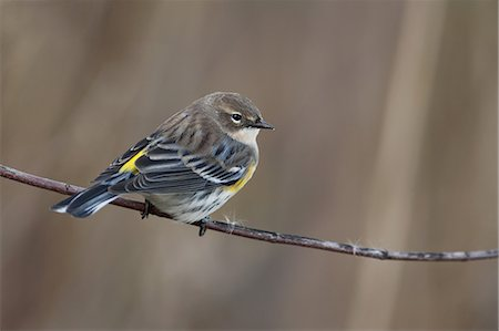 Yellow-rumped warbler in fall migration Stock Photo - Premium Royalty-Free, Code: 6106-07539352