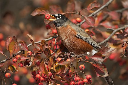 American robin feeding on crab apples Stock Photo - Premium Royalty-Free, Code: 6106-07539309