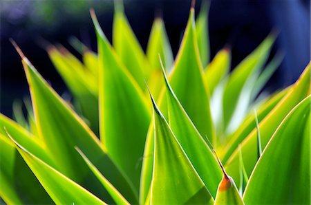spike - Cactus leaves Stock Photo - Premium Royalty-Free, Code: 6106-07602437