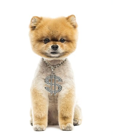 Groomed Pomeranian dog wearing a dollar necklace Stock Photo - Premium Royalty-Free, Code: 6106-07761645