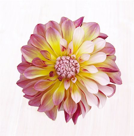 Pretty pink, yellow and white dahlia in close-up. Stock Photo - Premium Royalty-Free, Code: 6106-08057825