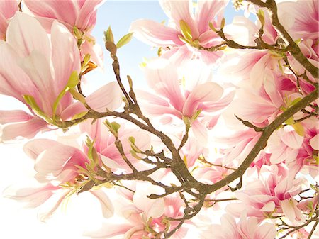 spring background - Backlit Magnolia blossoms on a branch Stock Photo - Premium Royalty-Free, Code: 6106-08057932