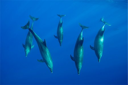 five animals - A pod of bottlenose dolphins Stock Photo - Premium Royalty-Free, Code: 6106-08080945