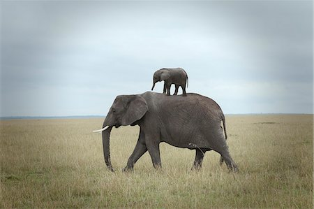 baby elephant on the back of his mother Stock Photo - Premium Royalty-Free, Code: 6106-08172457