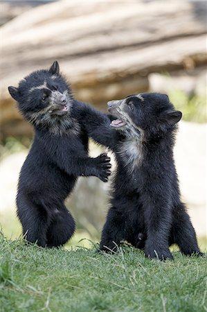 Andean bear Stock Photo - Premium Royalty-Free, Code: 6106-08277213