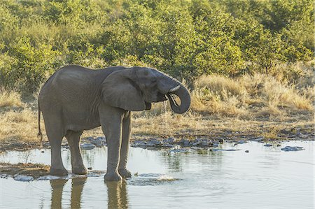 power - Etsha Nat. Park. Elephant drinking at a pond Stock Photo - Premium Royalty-Free, Code: 6106-08277718