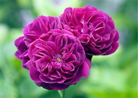 rose - English Rose David Austin 'Darcey Bussell' Stock Photo - Premium Royalty-Free, Code: 6106-08278185