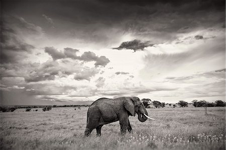 elephant. kenia Stock Photo - Premium Royalty-Free, Code: 6106-08387973