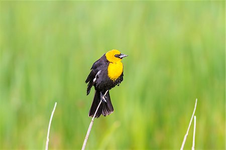 USA, Idaho, Yellow-headed Blackbird Stock Photo - Premium Royalty-Free, Code: 6106-08509039