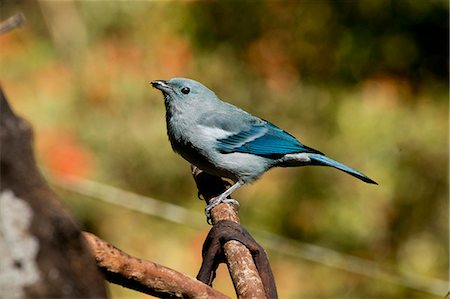 Blue-Gray Tanager Stock Photo - Premium Royalty-Free, Code: 6106-08509173