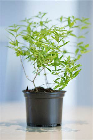 potted plant - Close-up of a basil herbal plant Stock Photo - Premium Royalty-Free, Code: 6108-06168401