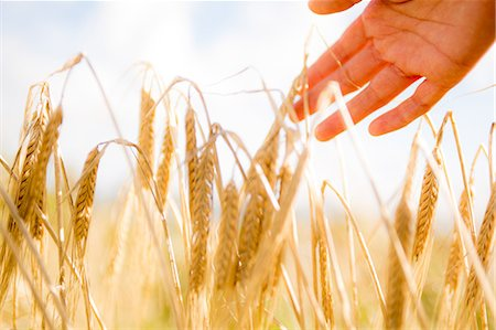 Close up of a woman's hand touching wheat ears Stock Photo - Premium Royalty-Free, Code: 6109-07498113