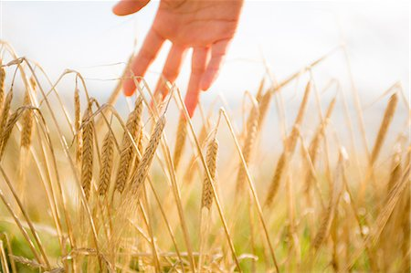 scenic - Close up of a woman's hand touching wheat ears Stock Photo - Premium Royalty-Free, Code: 6109-07498112