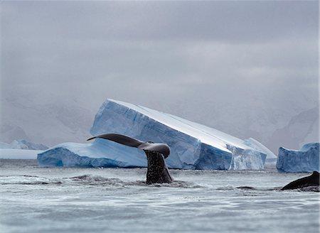 Whale Surfacing, South Georgia Island, Antarctica Stock Photo - Premium Royalty-Free, Code: 6110-08715147