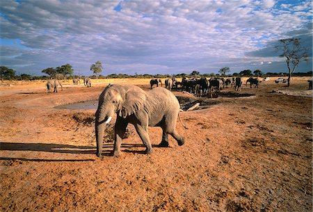 Herd of Elephants at Water Hole Savuti Region, Botswana South Africa Stock Photo - Premium Royalty-Free, Code: 6110-08715111