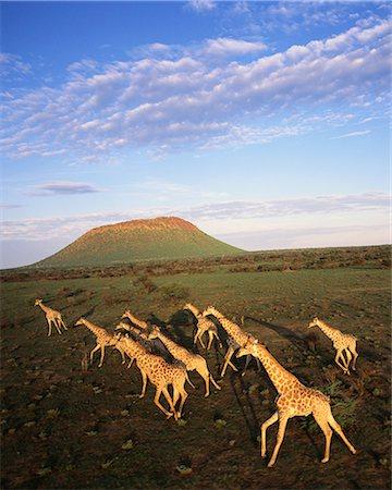 Giraffe Herd Erindi, Namibia Stock Photo - Premium Royalty-Free, Code: 6110-08715124