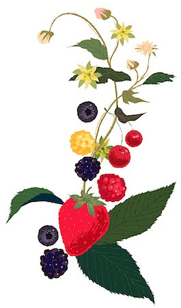 flower illustration - Berries Plant Stock Photo - Premium Royalty-Free, Code: 6111-06728627