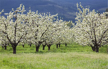 scenic and spring (season) - Blooming orchard trees Stock Photo - Premium Royalty-Free, Code: 6113-06498412