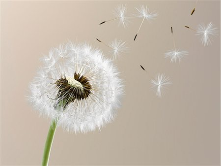 fragile - Close up of seeds blowing from dandelion on beige background Stock Photo - Premium Royalty-Free, Code: 6113-06498439