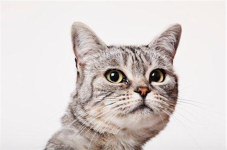 superior - Close up of cat's face Stock Photo - Premium Royalty-Free, Code: 6113-06626242