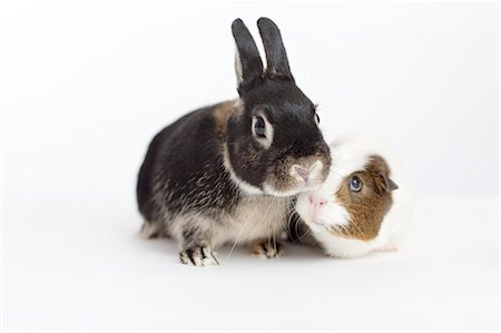 Rabbit and guinea pig meeting Stock Photo - Premium Royalty-Free, Code: 6113-06626251