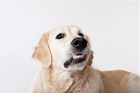 funny pose - Close up of dog's growling face Stock Photo - Premium Royalty-Free, Code: 6113-06626255