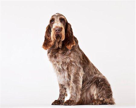 sitting - Dog sitting on floor Stock Photo - Premium Royalty-Free, Code: 6113-06626259